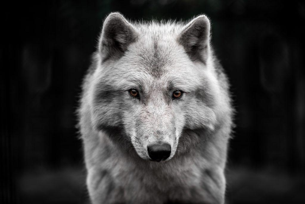 cara lobo