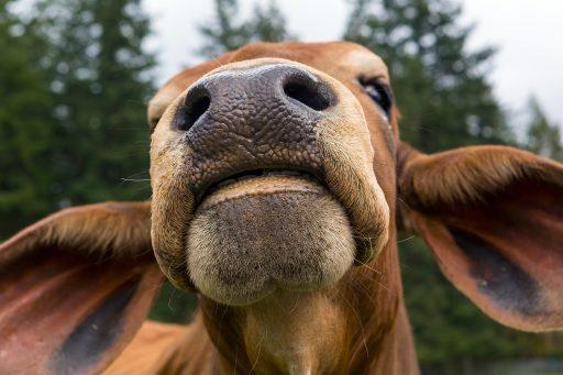 imagen de la nariz de jirafa